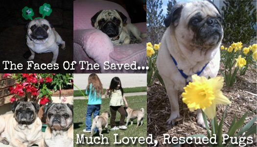 We're Raising $500 To Save Pugs In April & May, Can You Help? Buy A Blog Ad To Save Pugs!