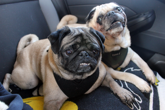 The Pugs On A Car Ride