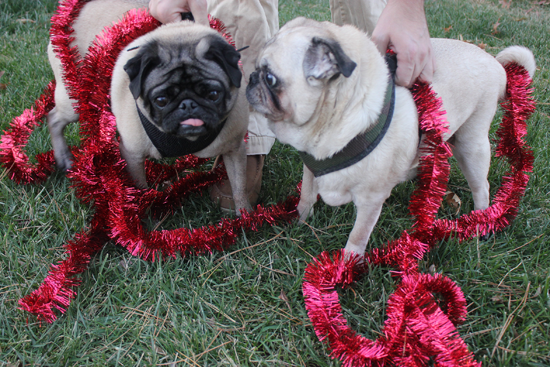 Tinsel Outtakes with the Pugs
