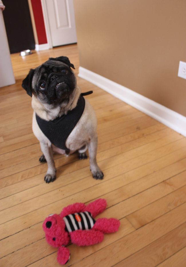 PetBox Review With Max The Pug