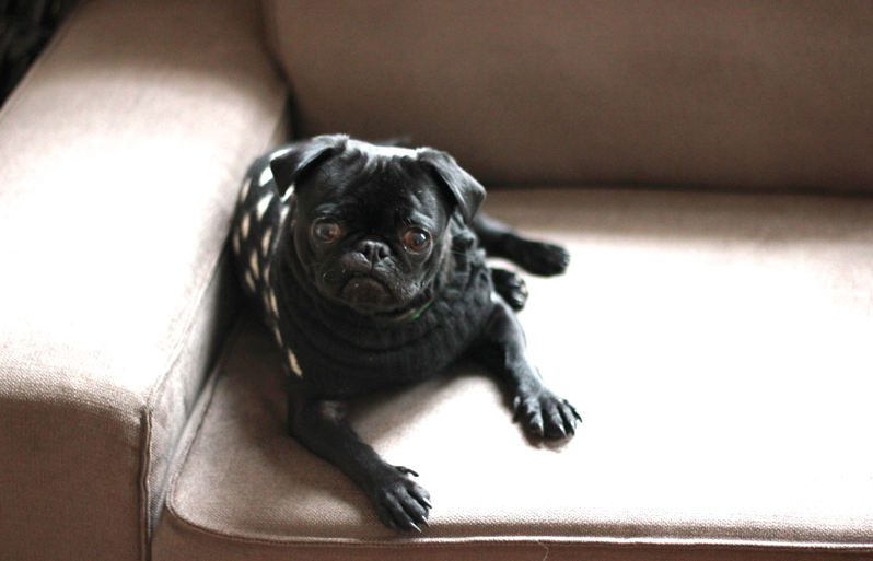 Matilda the pug on the couch