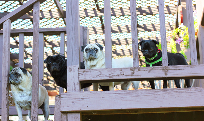 The Pug Grumble 2014