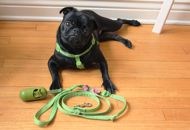 Matilda the rescue pug loves going for walks with me! It's how I'm staying healthy in 2015 to #MakeYourMove with Kohl's!