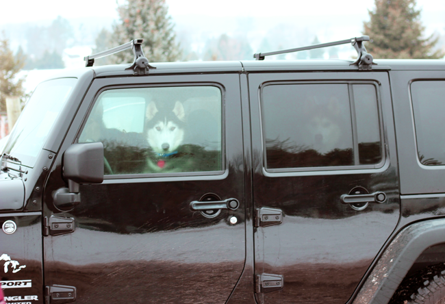 Dog Sledding in Traverse City Michigan. This is a jeep full of huskies