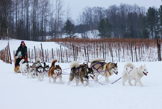 Dog sledding- a super fun winter activity in Traverse City Michigan. You'll have a blast!