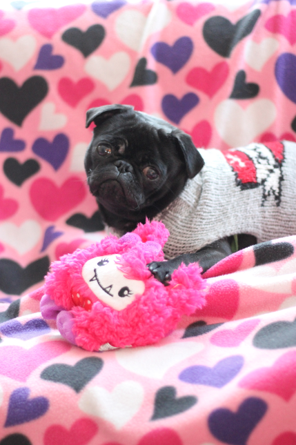 Valentine's Day Pug…the best part of Vday is Matilda!
