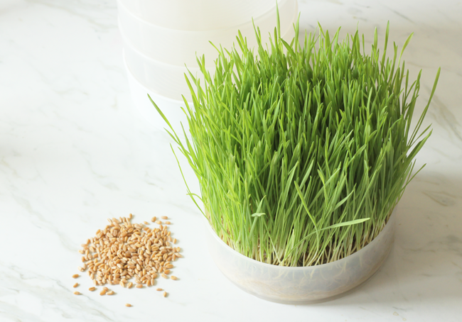 Growing your own wheat grass for juicing or centerpieces is really easy! Here's how...