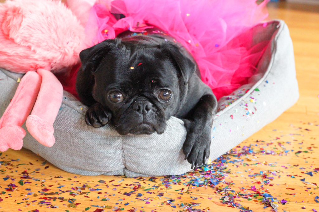 Party Animal Matilda Pug
