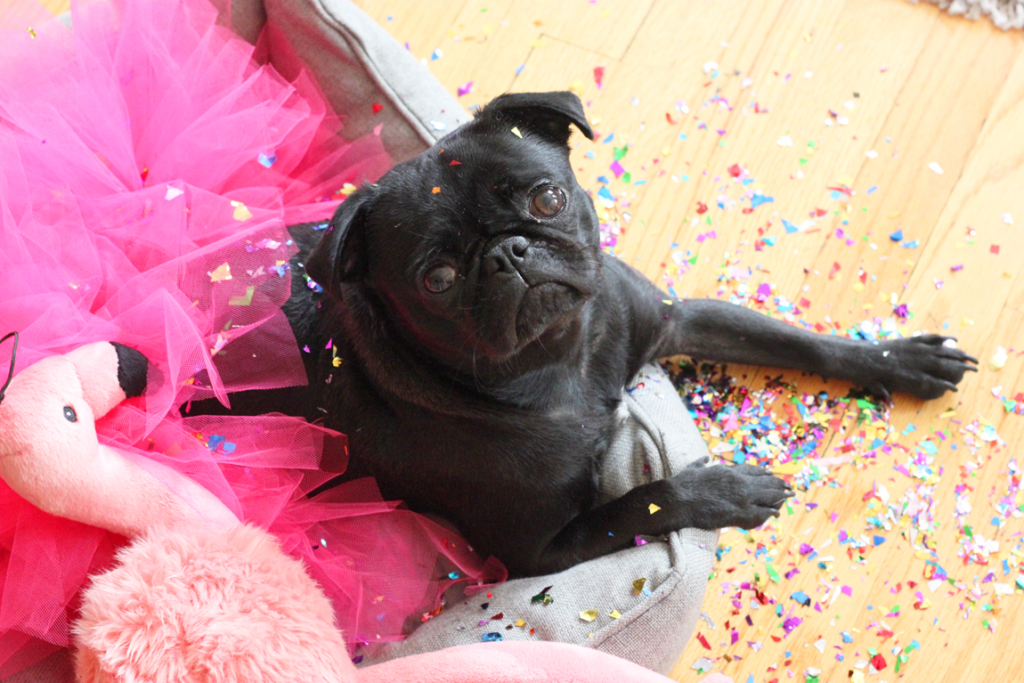 Party Animal Matilda Pug Virtual Pug Run