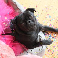 Matilda, Cue The Confetti! We Have 200 Virtual Pug Runners So Far!